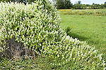 Wild cucumber vines, Sicyos angulatus, balsam-apple, growing on hay bale in meadow<br />