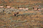 Bull elk bugles to his harem in a sage brush field