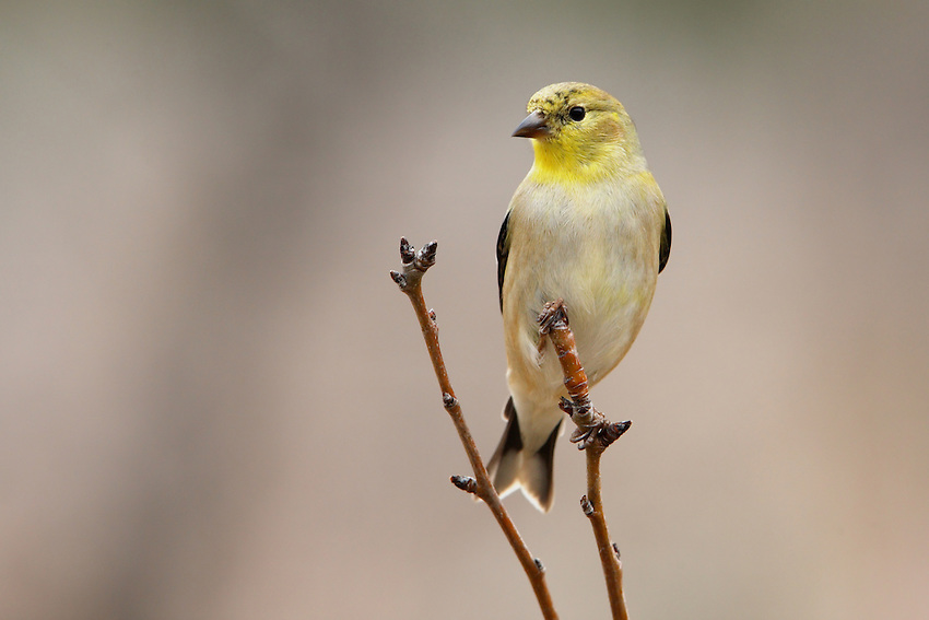 Goldfinches fly with a bouncy, undulating pattern and often call in flight, drawing attention to themselves.