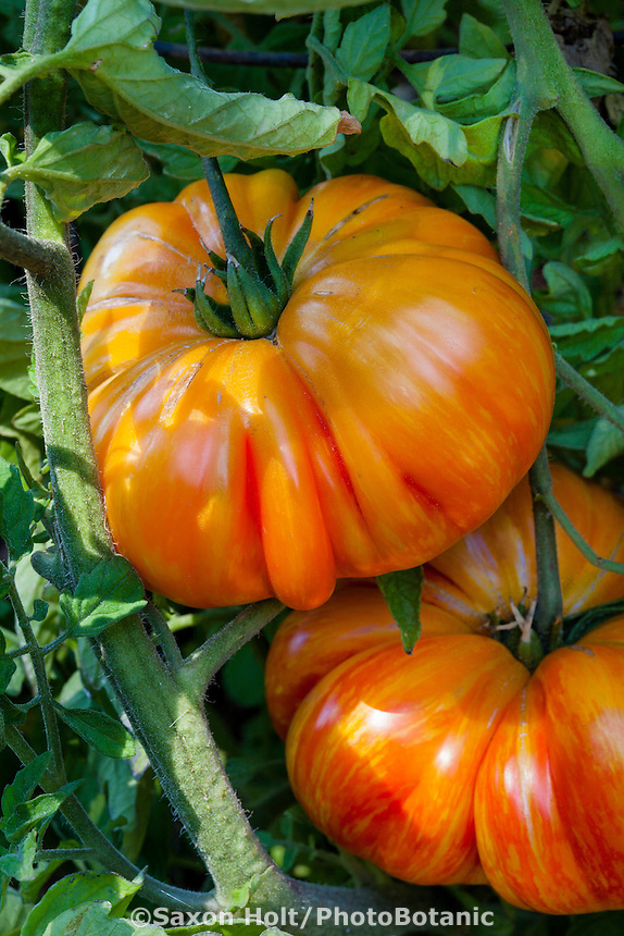 Mighty 'Mato grafted tomatoes 'Copia' in home garden