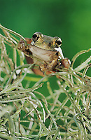 Mexican Treefrog, Smilisca baudinii, adult in Spanish Moss (Tillandsia usneoides), The Inn at Chachalaca Bend, Cameron County, Rio Grande Valley, Texas, USA