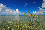 A single mangrove rooted on the flats of Los Roques, Venezuela.