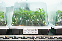 "Cannabis plant cuttings are seen in trays in the clone room at the production and packaging facility for Garden Remedies, a medical cannabis producer, in Fitchburg, Massachusetts, USA, on Fri., Feb. 22, 2019. Cuttings from ""mother"" plants are harvested and replanted to create clones of productive plants."
