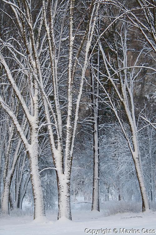 Snowy Winter Trees, Yosemite Valley, Yosemite National Park, California, United States of America