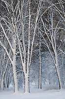 Snowy Winter Trees, Yosemite Valley, Yosemite National Park, California, United States of America