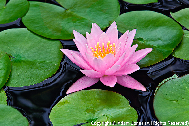 Hybrid water lily, Louisville, Kentucky.Nympheaceae spp.