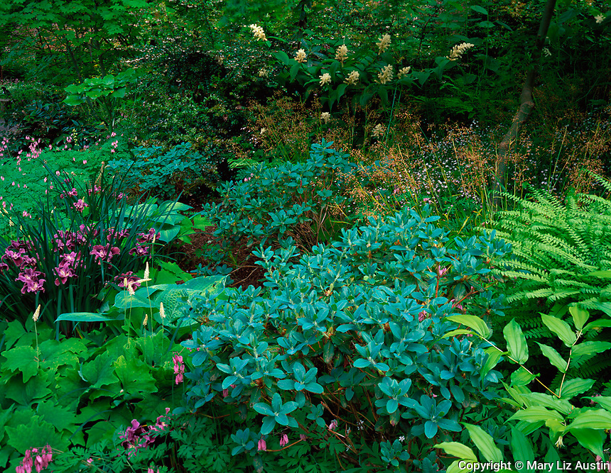 Vashon, WA<br /> Bluish green foliage of Rhododendron lepidostylum with purple flowering Pacific Coast iris, vanilla leaf, and Solomon's seal