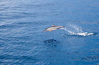 spinner dolphin, Stenella longirostris, jumping, leaping, Raja Ampat, West Papua, Indonesia, Indo-Pacific Ocean