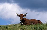 Europe/France/Auvergne/15/Cantal/Parc Naturel Régional des Volcans/Massif du Puy Mary: Vaches Salers en paturage au buron du Col de Rombière