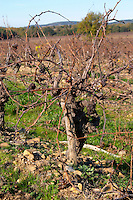 Chateau Rives-Blanques. Limoux. Languedoc. Old, gnarled and twisting vine. Old Mauzac grape vine variety. France. Europe. Vineyard.