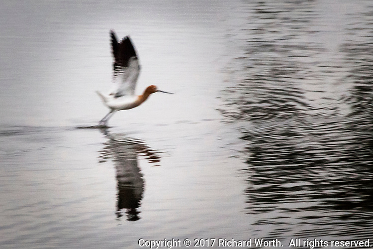 Motion blur contributes to the painterly look of a American avocet taking flight from a pond separated by a trail from San Francisco Bay.