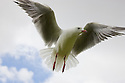 Gull in flight, North Island, New Zeland