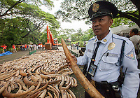 A policeman holds an elephant tusk as five tonnes of confiscated ivory from the Philippines stockpile since 2009 is destroyed by excavator at the Philippines Government Protected Areas and Wildlife Bureau of the Department of Environment and Natural Resources, Quezon City, Manila, Philippines, 21 June 2013.