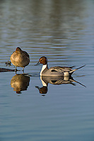 571350014 a wild drake and a female northern pintail anas acuta in a shallow pond at colusa national wildlife refuge califonia