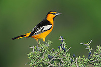 Bullock's Oriole (Icterus bullockii), male eating berries, Laredo, Webb County, South Texas, USA