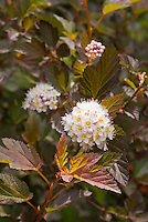 Physocarpus opulifolius 'Coppertina'  (as known in North America) aka 'Diable d'Oro' in Europe, aka Mindia, shrub in June late spring flower