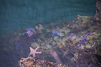 Ochre Sea Star (Pisaster ochraceus) on Tidal Rocks off Russell Island, Gulf Islands National Park Reserve, British Columbia, Canada