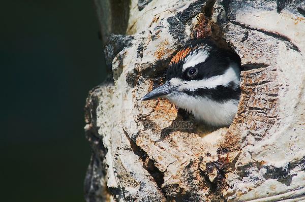 Hairy Woodpecker, Picoides villosus,young in nesting cavity in aspen tree,Rocky Mountain National Park, Colorado, USA