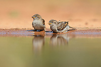 House Sparrow (Passer domesticus), young bathing, Rio Grande Valley, South Texas, Texas, USA