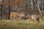 Young white-tailed bucks chasing does in early November.