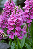 Hardy Orchid Dactylorhiza 'Harold Esslemont', Ground growing hardy Garden Orchid Hybrid