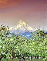 Sunrise on Mount Hood and blooming pear orchard. Hood River Valley, Oregon.