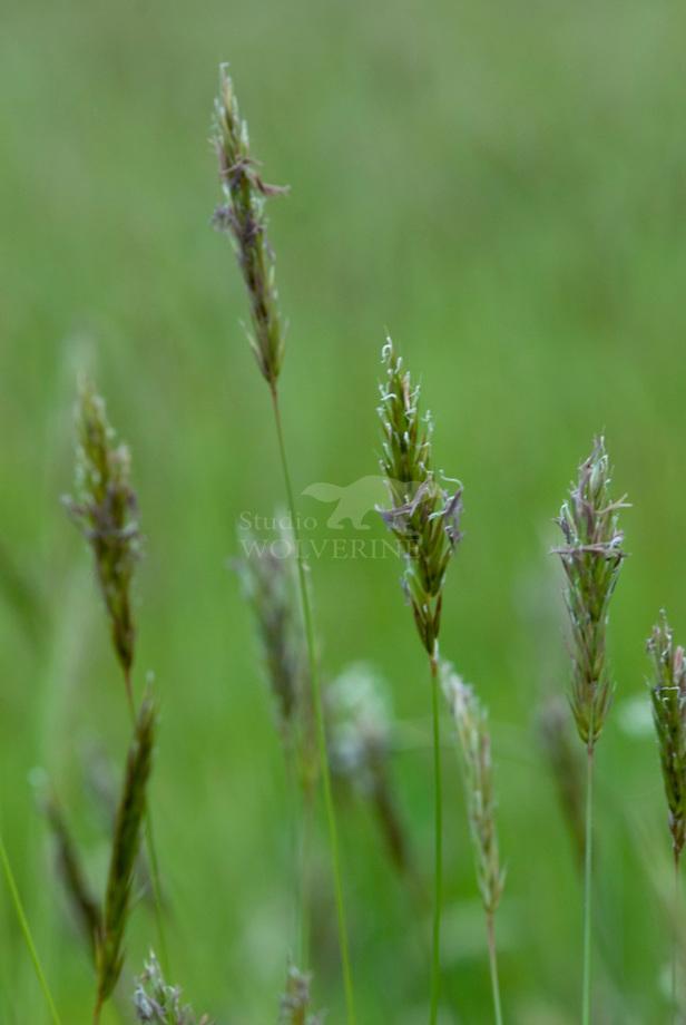 Gewoon reukgras (Anthoxanthum odoratum)