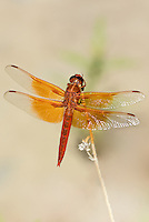 389190010 a wild male red rock skimmer paltothemis lineatipes perches on a small desert plant along piru creek in northern los angeles county california