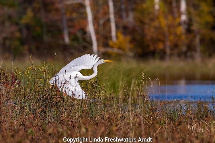 Great egret in northern Wisconsin