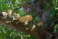 Schuppiger Porling, Schuppiger Stielporling, Schwarzfußporling, Polyporus squamosus, Baumpilz an alter, absterbender Kastanie, Dryad's saddle, Pheasant's back mushroom
