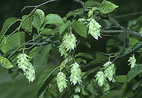 European Hop-Hornbeam Ostrya carpinifolia (Betulaceae) HEIGHT to 19m. A spreading tree with a domed crown and robust bole. BARK Grey-brown, with squarish plates. BRANCHES Almost level when growing in the open but in a woodland the branches may be crowded and ascending. LEAVES Similar to Hornbeam. REPRODUCTIVE PARTS Fruits in clusters with a superficial resemblance to bunches of hops. STATUS AND DISTRIBUTION Native of mainland Europe; in Britain it occurs mainly in well-established gardens.
