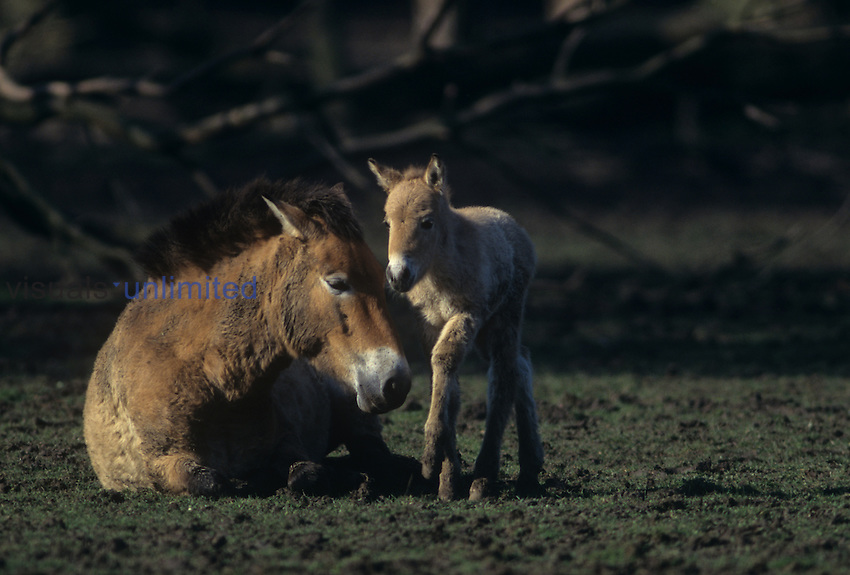 Tarpan Horse mare with colt or Przewalski's Horse (Equus przewalskii).