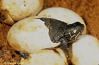 1R13-023z  Painted Turtle - hatching from egg in sand  - Chrysemys picta              .