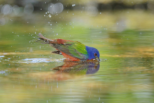 Painted Bunting (Passerina ciris), male bathing, Hill Country, Texas, USA