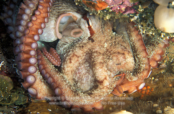 la5132. Pacific Giant Octopus (Enteroctopus dofleini). British Columbia, Canada, Pacific Ocean..Photo Copyright © Brandon Cole. All rights reserved worldwide.  www.brandoncole.com..This photo is NOT free. It is NOT in the public domain. This photo is a Copyrighted Work, registered with the US Copyright Office. .Rights to reproduction of photograph granted only upon payment in full of agreed upon licensing fee. Any use of this photo prior to such payment is an infringement of copyright and punishable by fines up to  $150,000 USD...Brandon Cole.MARINE PHOTOGRAPHY.http://www.brandoncole.com.email: brandoncole@msn.com.4917 N. Boeing Rd..Spokane Valley, WA  99206  USA.tel: 509-535-3489