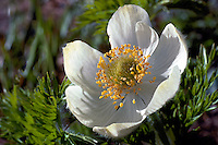 Western Anemone (Anemone occidentalis) blooming in Summer
