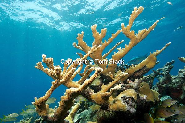 Elkhorn Coral,a Critically Endangered species, Florida Keys National Marine Sanctuary