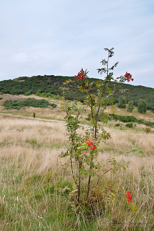 A red berries' bush on the slope of Arthur's Seat, Edinburgh, Scotland.