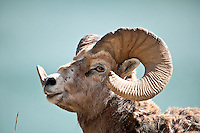 Bighorn Sheep, Jasper National Park, Canada