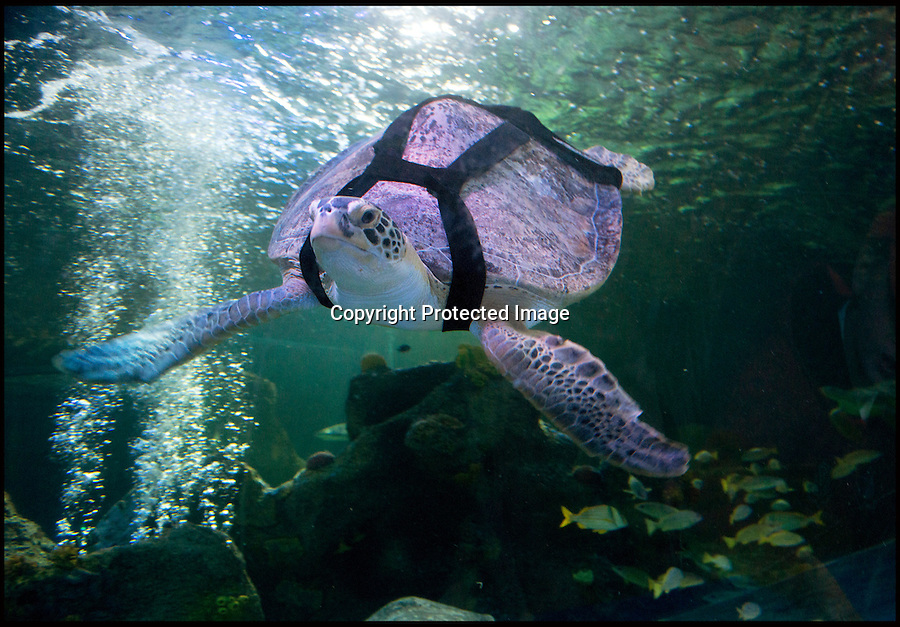 """BNPS.co.uk (01202 558833).Pic: RachelAdams/BNPS..In the swim.....Ali the rescued Green turtle, that sadly used to float like a butterfly and swim like a bee, now has a new lease of life after staff at the Weymouth Sealife centre invented the worlds first dive belt for the endangered sea creatures...In 2001 Ali - named after the legendary boxer -was hit by a boat in Florida which left an air bubble under her shell that prevented her from submerging and causing her to float bottom up...Despite weighing 65 kilos, she was stranded on the surface...Now a team at Weymouth Sea Life Adventure Park in Dorset have created a pioneering belt with removable weights that works just like a diver's weight belt...The new invention is believed to be the first of its kind - and means Ali, thought to be 15-20 years old, can dive again...Fiona Smith, curator at Weymouth Sea Life Adventure Park, said: """"The common thing to do is to stick weights to injured turtles' shells to allow them to dive but where Ali's shell was in slightly worse condition because of her accident it wasn't that easy...""""My team and I started thinking about how else we could attach the weights, and came up with the idea of a harness...""""We took the idea to a nearby dive shop and they came back to us with a custom-built dive belt we could slip weights into..."""