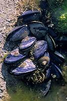 Europe/France/Bretagne/22/Côtes d'Armor/Cap Fréhel: Détail moules dans les rochers