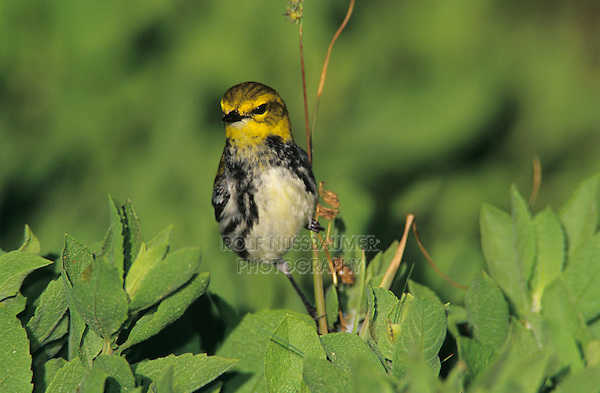 Black-throated Green Warbler, Dendroica virens, female, Convention Center, South Padre Island, Texas, USA