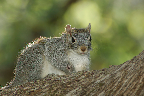 Arizona Gray Squirrel, Sciurus arizonensis, adult, Madera Canyon, Arizona, USA, May 2005