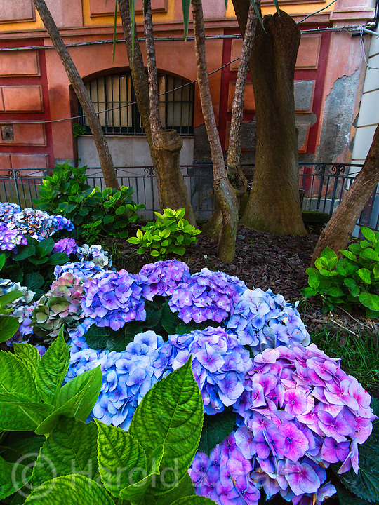 The climate in Sorrento, Italy is much like that of southern California with a similar variety of plants.  Hydrangeas seem to glow in the late evening partly illuminated by passing car lights.