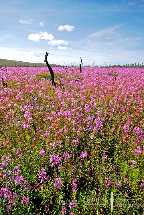 Fireweed flourishes in an area where a forest fire had swept through, in Interior Alaska.