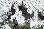Tolga Bat Hospital -Flying Foxes in their cage