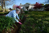 NWA Democrat-Gazette/ANDY SHUPE<br /> Dian Holmes of Fayetteville weeds Tuesday, April 9, 2019, in front of the Historic Headquarters House in Fayetteville. Holmes, a 15-year Master Gardner, joins other members of the Washington County Master Gardener group to work at the historic home and Civil War site each Tuesday. &quot;This is my favorite place. We treat this like it's our garden,&quot; Holmes said.