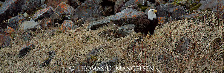 A bald eagle stands among grasses and rocks in Southcentral Alaska.