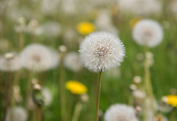 Field full of dandelions, Shawbury.