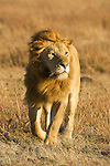 Early morning winds sweep across the golden plains, blowing through the mane of a majestic lion in Masai Mara, Kenya.